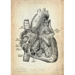 Heart - Section