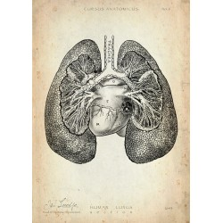 Lungs - Section