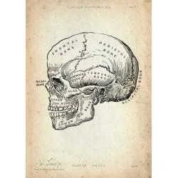 Skull - Overview